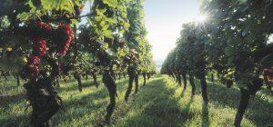 Un vignoble d'Alsace